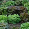 Minimalist Home Garden With Lettuce Plants