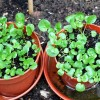 Pot Watercress Plants For Garden Decor