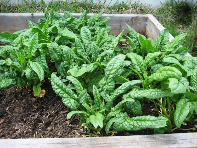 Spinach Plants For Small Home Garden