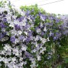 Beautiful Clematis Fence Design Idea