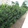 Build Home Fence From American Holly Idea