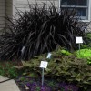 Pennisetum Purpureum Idea For Home Garden