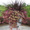 Small Pennisetum Purpureum For Garden Decor
